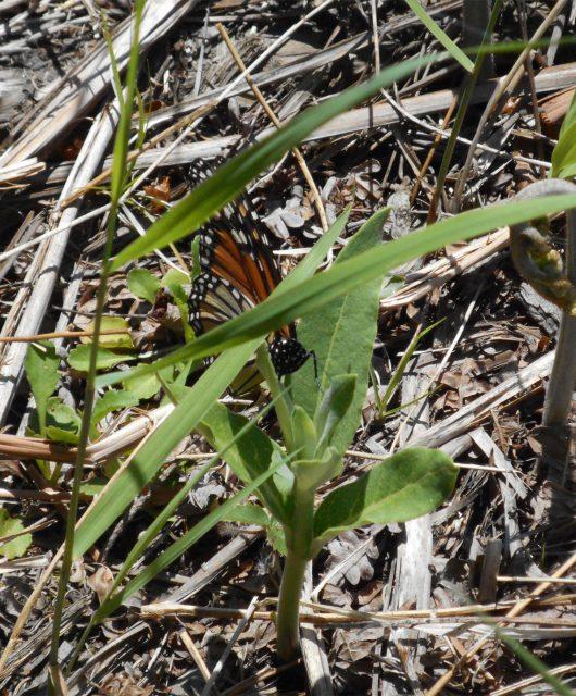 david legros female may monarch
