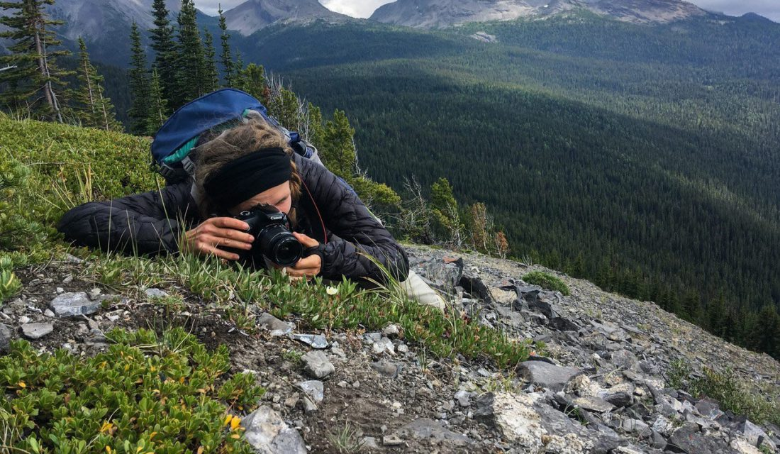 Observing Mountain Avens at Top of the World Provincial Park, BC | © Jason Headley